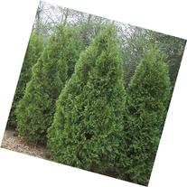 1 Emerald Green Arborvitae Potted Plant