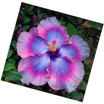 10+ Dinnerplate Hibiscus/ All About Bling/ Perennial Flower