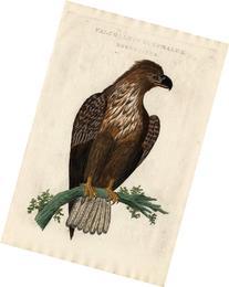 2 Antique Bird Prints-BALD EAGLE-Sepp-Nozeman-1770