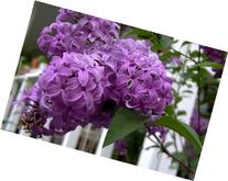 25 FRENCH / OLD FASHIONED LILAC Syringa Vulgaris Flower