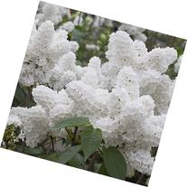 25 White Japanese Lilac Seeds