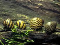 5 Zebra Nerite Snails  - Live Snails by Aquatic Arts