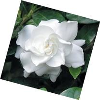 50 GARDENIA / CAPE JASMINE Jasminiodes White Shrub Flower