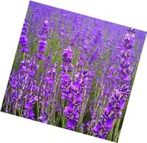 500 TRUE ENGLISH LAVENDER VERA Lavender Augustifolia Vera