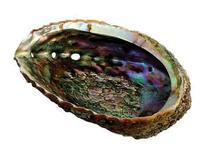 """6"""" Abalone Shell"""