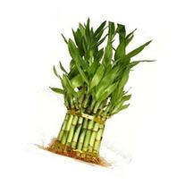 9GreenBox - 3 Tier 4 6 8 Top Quality Lucky Bamboo For Feng
