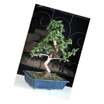 "9GreenBox - Fukien Tea Bonsai with 6"" Ceramic Pot"