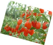 "9GreenBox - Goji Berry 'Crimson Star' 4"" plant superfruit"