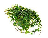 9GreenBox - Mini Oakleaf Creeping Fig - Terrarium/Topiary/