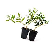 9GreenBox - Olive Tree - Tree of Peace - Olea europaea - 2