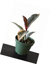 9GreenBox -Tineke Rubber Tree Plant - Ficus - NEW yet very