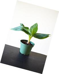 """9GreenBox - Truly Tiny - Tiny Musa Banana Tree - 4"""" Pot -"""