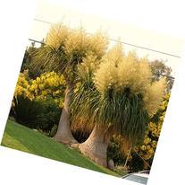 Beaucarnea Recurvata, Rare Elephant Foot Ponytail Palm