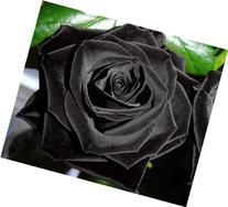 Black of Night Rose Seeds Bush Flower Seeds - Treasuresbylee