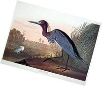 "Blue Crane or Heron. From ""The Birds of America""  Pl. 307"
