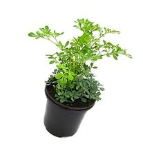 Common Rue Herb of Grace  Ruda 1 LIVE PLANT