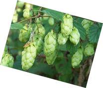 Hops, Humulus Lupulus, Perennial Vine 20 Seeds