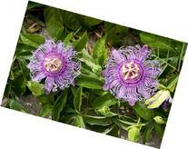 9GreenBox - Maypop Purple Passion Flower - 4'' Pot