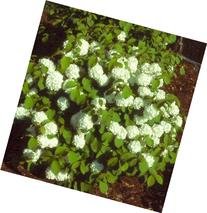 Newport Viburnum  miniature snowball bush