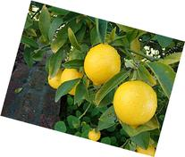 Organic Ponderosa Lemon Tree Certified 5 Seeds #23178 Item