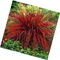 Outsidepride Uncinia Rubra - 50 Seeds