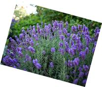 "Phenomenal Blue Lavender Herb - Quart Pot - A ""Must Have"""