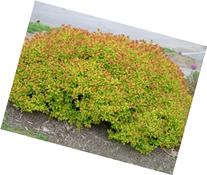 Spiraea Dakota Goldcharm TM 3 Plants