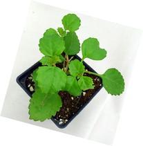 Swedish Ivy - Plectranthus verticillatus - Easy to Grow
