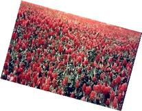 1# Bulk Crimson Clover Seed with Gypsum- Flowering, Cover