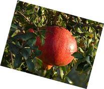 """""""Salavatski"""" also known as """"Russian-Turk"""" Pomegranate Tree"""