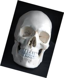 Anatomical Human Skull Model, 3-part, Numbered, with Sutures
