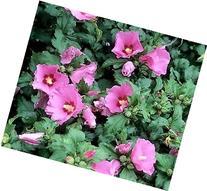 Aphrodite Hibiscus  - Rose Of Sharon - Live Plant - Quart