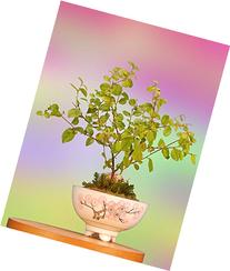 Bonsai Tree Gift with Oriental Indoor Sweet Plum Bonsai