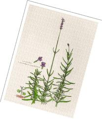 Botanical Print of Lavender Plant From Culinary Herbs Group
