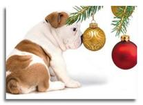 English Bulldog Adorable Puppy Dog with Nose Pressed on