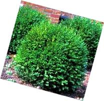 Green Gem Hybrid Boxwood  - zero maintenance evergreen