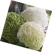 Incrediball Smooth Hydrangea, Live Shrub, Green to White