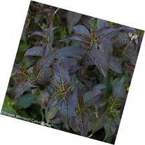 "Kodiak Black Bush Honeysuckle - 4"" pot - Diervilla"