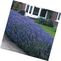 Outsidepride Lavender Munstead - 2000 Seeds
