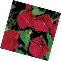 "Morning Glory ""Scarlet O Hara""  20 Seeds"