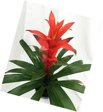 "Orange Jazz Blazing Star Vase Plant - 5"" Pot - Guzmania -"