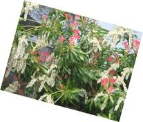 Pieris Japonica, Versatile Evergreen, Can Take Heavy Shade,