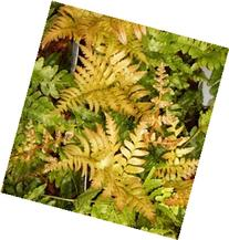Autumn Brilliance Fern Potted Plants