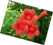 "Red Trumpet Vine - Campsis radicans - 2.5"" Pot"