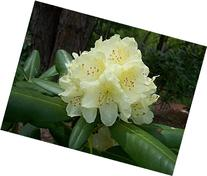 Rhododendron Capistrano - First Year Plants - Three Plants