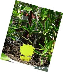 Yellow Dual Sticky Fly Traps  for Fruit Fly Gnat Whiteflies